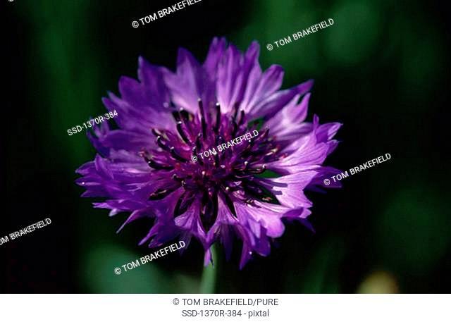 Close-up of a cornflower