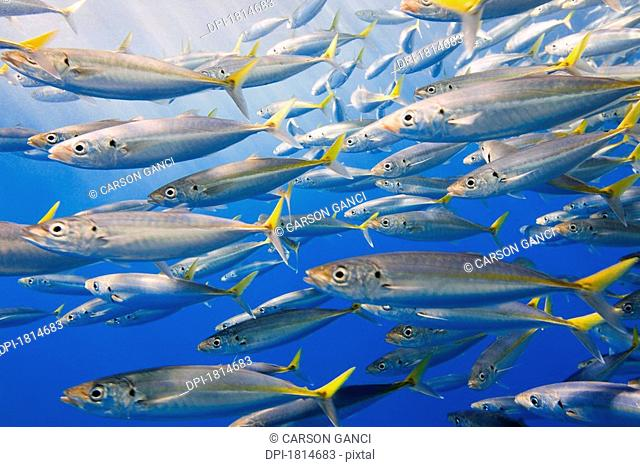 School of Rainbow Runners, Sea of Cortez, Mexico