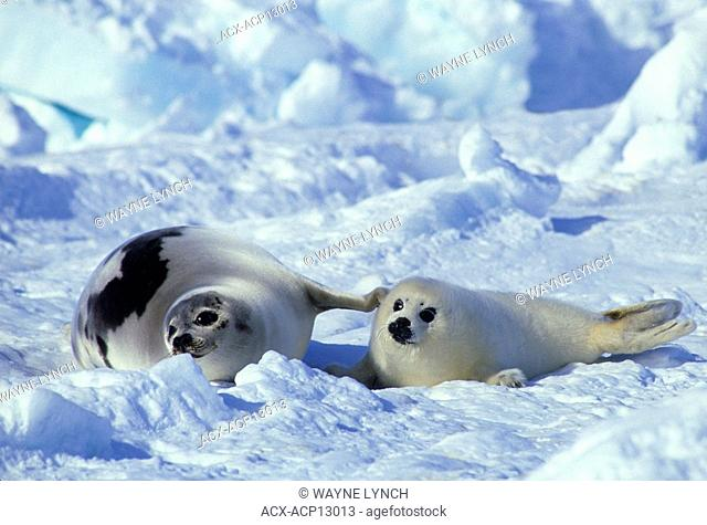 Mother harp seal Phoca groenlandica and pup yellowcoat, Gulf of the St. Lawrence River, Canada. Pup's natal coat stained yellow by amniotic fluid
