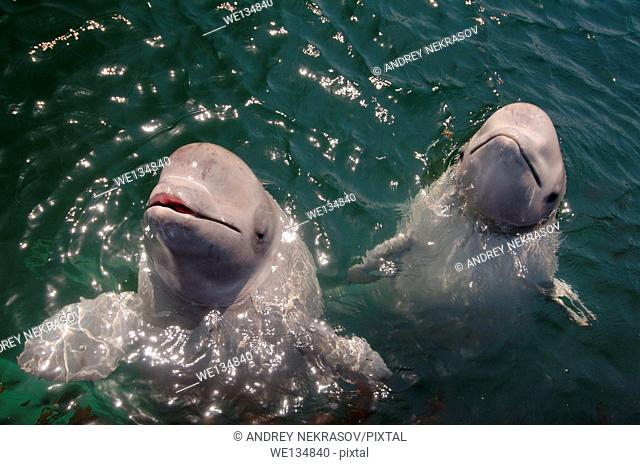 Two young beluga beluga whale or white whale (Delphinapterus leucas) Sea of Japan, Far East, Primorye, Primorsky Krai, Russia