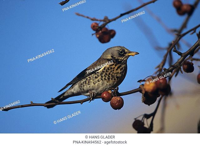 Fieldfare Turdus pilaris - Germany, Europe