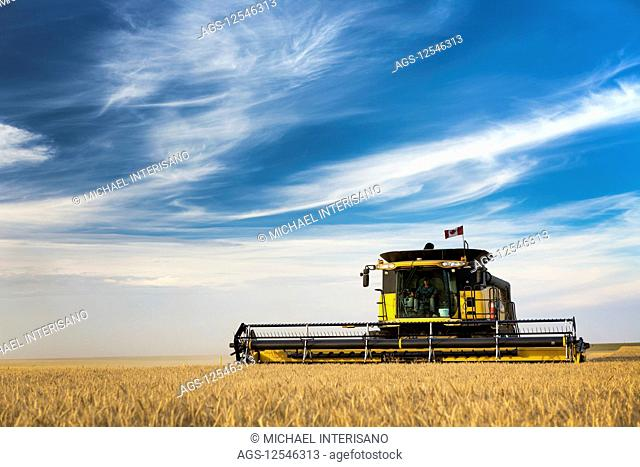 Combine harvesting a golden wheat field with blue sky and cloud; Beiseker, Alberta, Canada