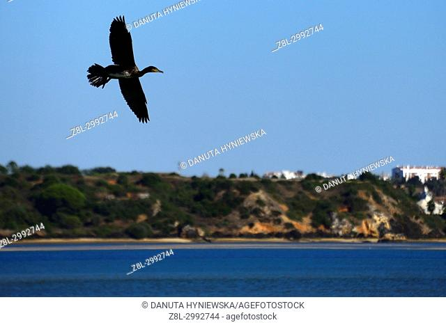 Great Black Cormorant in flight, Estuary of Alvor river - Ria de Alvor and Odiaxere river, staging post for thousands of migrating birds