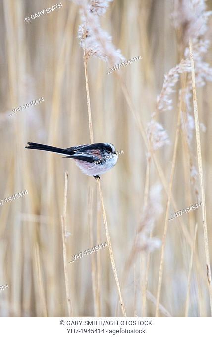 Long-tailed Tit Aegithalos caudatus, single bird perched in phragmites, Norfolk, England, January