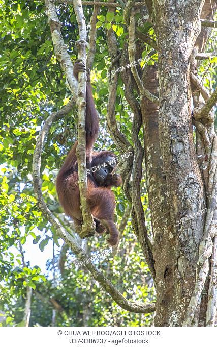 Orangutan ( Pongo pygmaeus ) Hanging on a Rope in Semengoh Rehabilitation Center, Kuching, Sarawak, Borneo, Malaysia