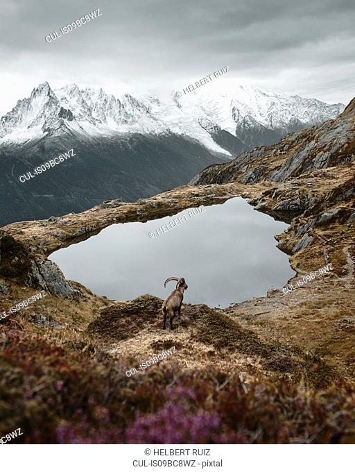 Ibex by lake on hilltop, Chamonix, Rhone-Alpes, France