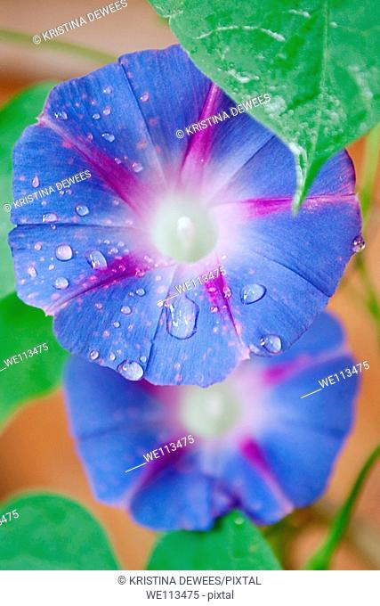 A blue Morning Glory covered in raindrops