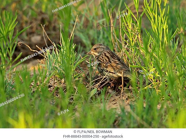 Black-faced Bunting (Emberiza spodocephala) adult female, feeding on ground, Hebei, China, May