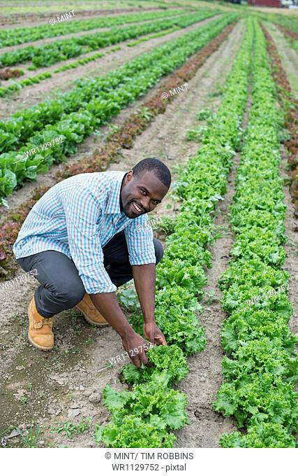 An organic farm growing vegetables. A man in the fields inspecting the lettuce crop