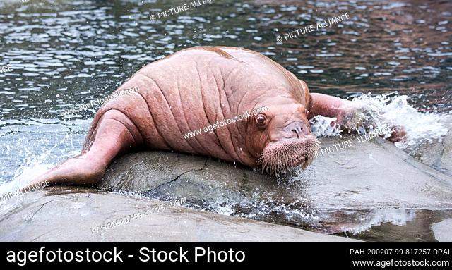07 February 2020, Hamburg: A walrus from Spain crawls out of the water in Hagenbeck's zoo. Three animals from a zoo in Valencia are to be covered by Europe's...