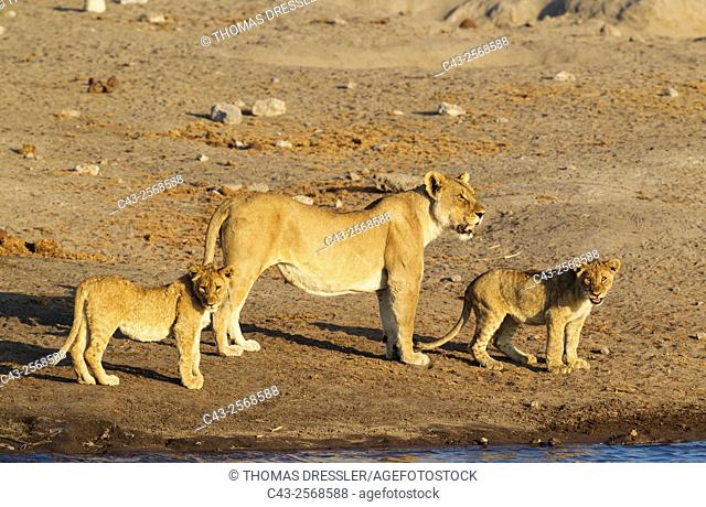 Lion (Panthera leo) - Female with two cubs at a waterhole. Etosha National Park, Namibia
