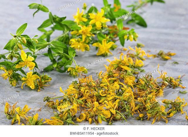 Common St John's-wort, perforate St John's-wort, klamath weed, St. John's-wort (Hypericum perforatum), flowers are dried, Germany