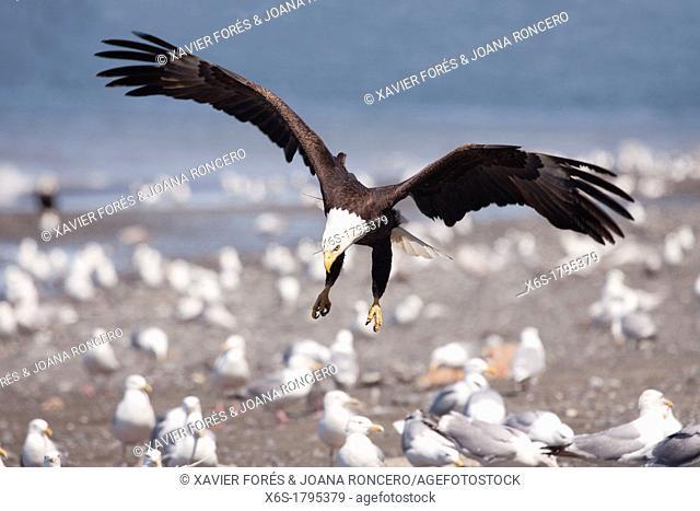 Bald eagle, - Haliaeetus leucocephalus -, Ninilchik, Kenai Peninsula, Alaska, U S A