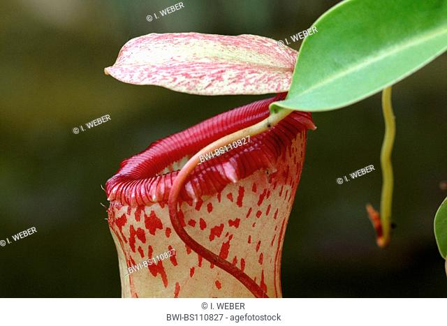 pitcher plant (Nepenthes spec.), upper part of the trap with cap