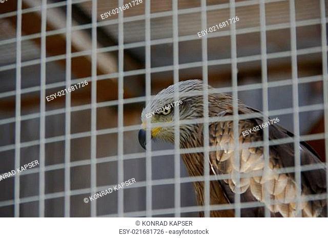 Greifvogel im Gäfig hinter Gitter