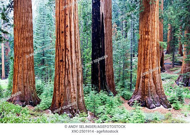 Giant Sequoias in Mariposa Grove, Yosemite National Park, California, USA