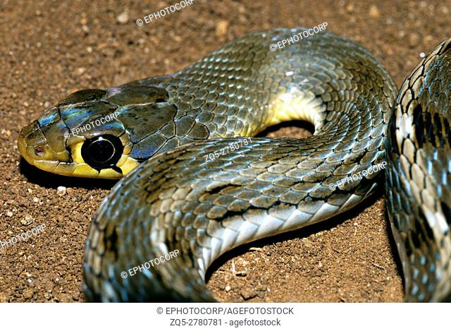 Buff Striped Keelback (Amphiesma stolatum) is a common species of non-venomous colubrid snake found across Asia. It is a typically non-aggressive snake that...