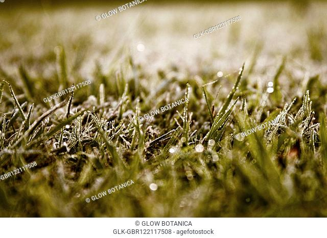 Dew on grass in a field