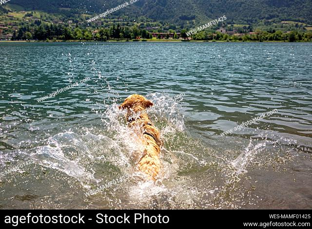 Golden retriever swimming in lake on sunny day