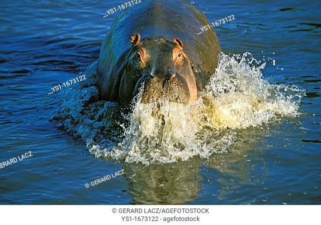 Hippopotamus, hippopotamus amphibius, Adult emerging from Mara River, Masai Mara Park in Kenya