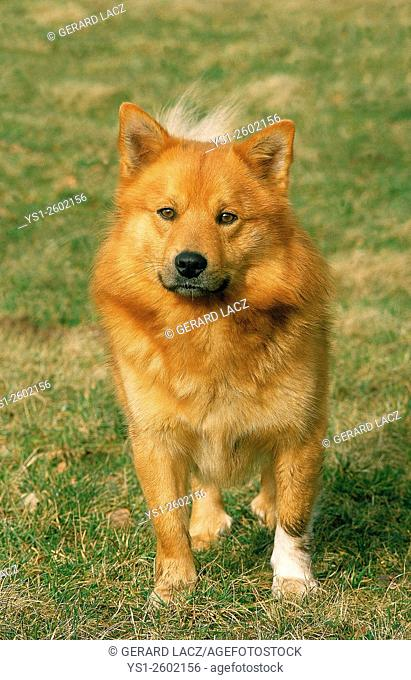Finnish Spitz, Adult standing on Grass