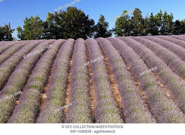 Row cultivation of lavender near Sault, Provence, France