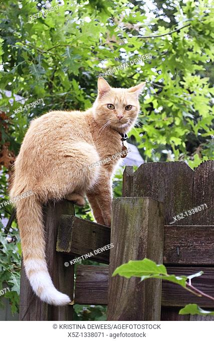 An orange cat on a fence