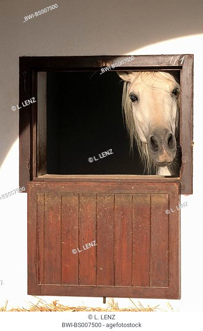Andalusian horse (Equus przewalskii f. caballus), looking out of stallion