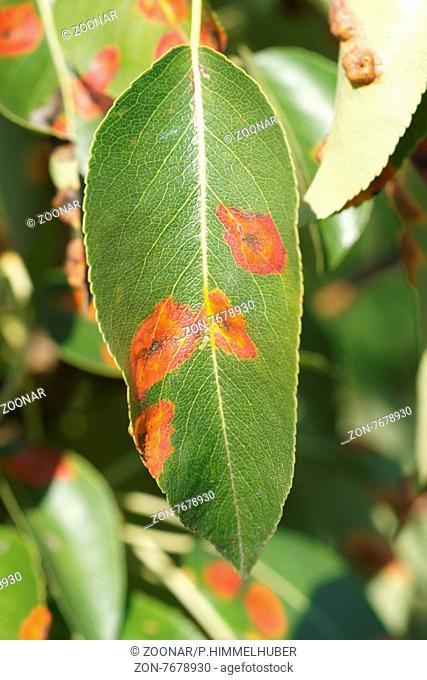 Gymnosporangium fuscum, Birnengitterrost, Pear rust