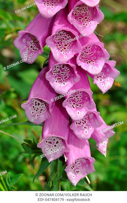 Fingerhut, digitalis, pflanze, blume, blüten, gift, giftig, giftpflanze, botanik, rosa, pink, violett