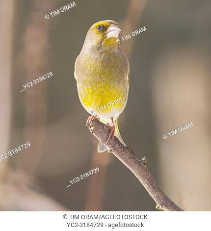 A male Greenfinch (Carduelis chloris) feeding in freezing conditions in a Norfolk garden