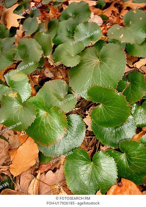 Galax Leaves, plant, Blue Ridge Parkway, Galax, Virginia, VA
