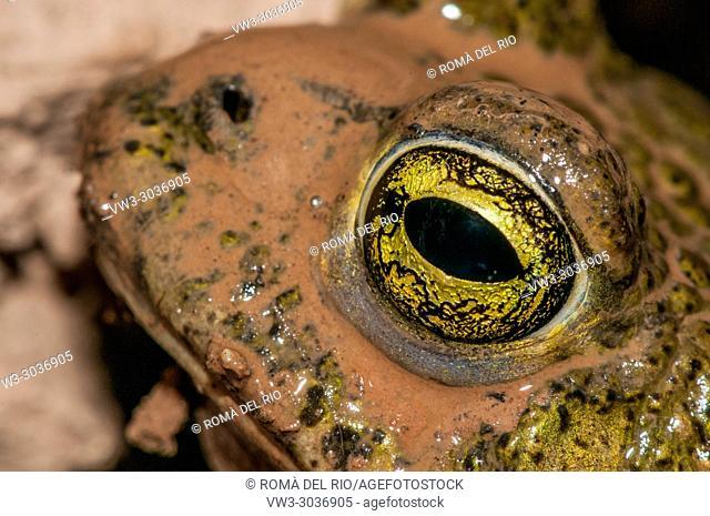 common toad, bufo bufo, Catalonia, Spain