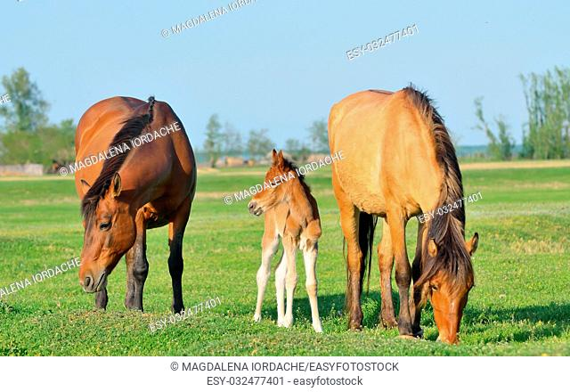 Horses family in a meadow in spring time