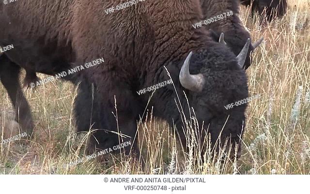 Bison (Bison bison) grazing close-up