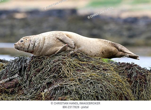 Harbor or Harbour Seal (Phoca vitulina), Snæfellsnes, Snæfellsness, Iceland, Europe