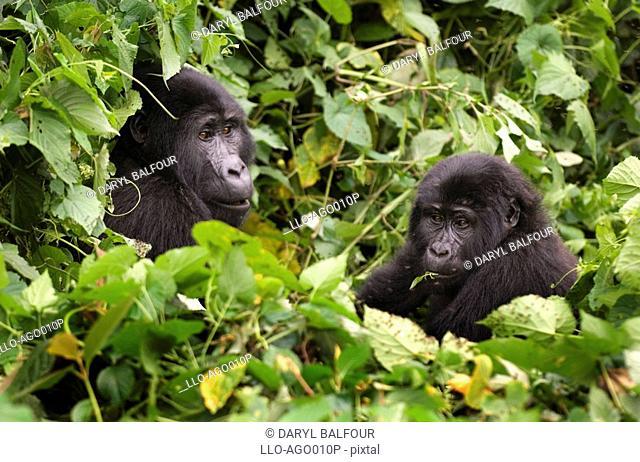 Mountain Gorilla Gorilla beringei beringei Pair Sitting in Lush Green Forest Eating Leaves  Bwindi Forest, Uganda