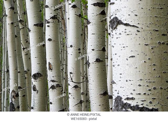 Many aspen tree trunks lined up creating a pattern of vertical lines. Kananaskis Country, Alberta, Canada