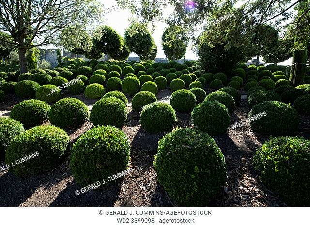 Europe, France An example of Buxus sempervirens or box hedging in perfect health