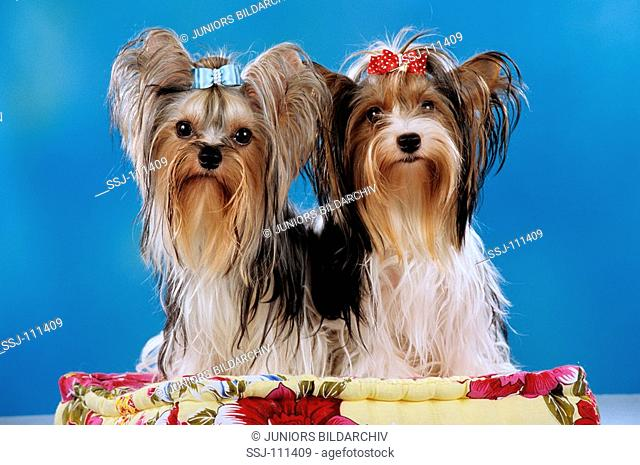two yorkshire terrier sitting on a pillow
