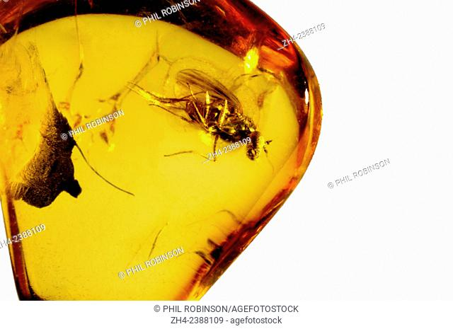 Prehistoric long-legged fly preserven in Baltic amber