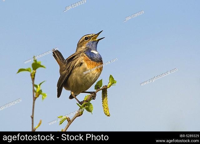 Bluethroat, male (Luscinia svecica cyanecula)
