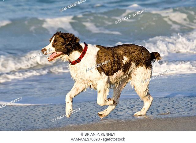 English Springer Spaniel (Canis lupus familiaris) playing at the beach in southwest Florida. This Breed was developed in the 1600's to 'Spring' or Flush...