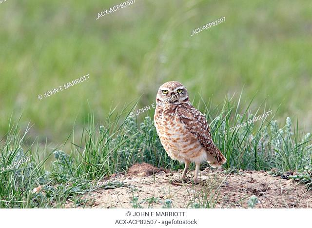 Endangered wild burrowing owl on the Canadian Prairies