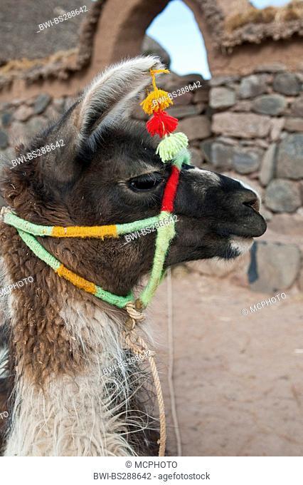 llama (Lama glama), lateral portrait with traditional head decoration, Peru, Atuncolla
