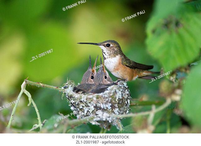 Rufous has two baby humming bird (selasphorus rufus) birds in the nest .Ladner, British Columbia