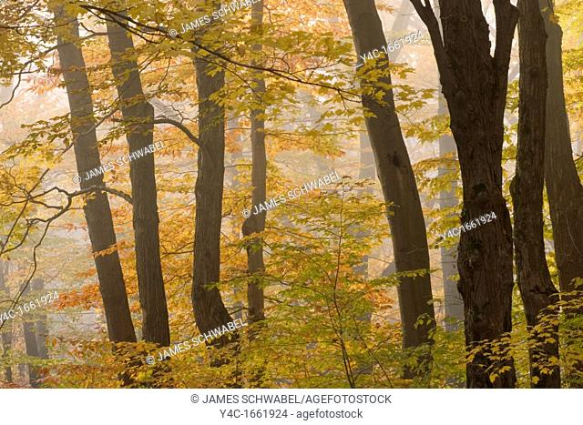 Fog in fall woods in Chestnut Ridge Park in Western New York State