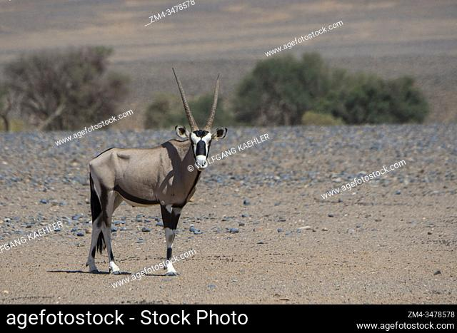 A South African oryx (Oryx gazellaat), also called Gemsbok or gemsbuck, in the desert landscape on the way to a water hole in the Sossusvlei area