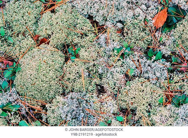 Lichen and moss cover ground under hardwood forest, Keeweenah Peninsula, Upper Peninsula, Michigan, USA