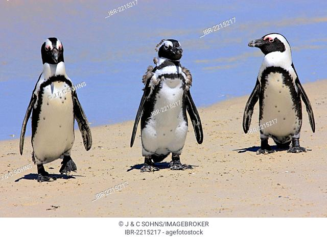 Three Jackass Penguins, African or Black-footed Penguins (Spheniscus demersus), group on the beach, adults and juveniles, Boulder, Simon's Town, Western Cape